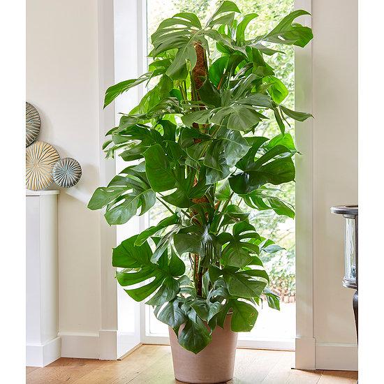 Garten-Welt Monstera - Fensterblatt ca. 50 cm hoch, 1 Pflanze grün