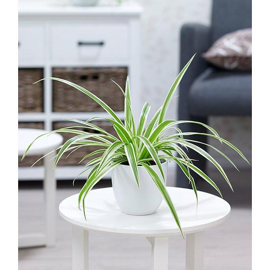 """Garten-Welt Chlorophytum """"Variegatum"""" , 1 Pflanze mehrfarbig"""