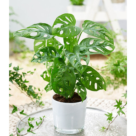 "Garten-Welt Monstera ""Monkey Leaf"", 1 Pflanze grün"