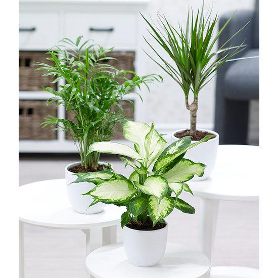 """Garten-Welt Zimmerpflanzen-Mix """"Classic"""", 3 Pflanzen mehrfarbig"""