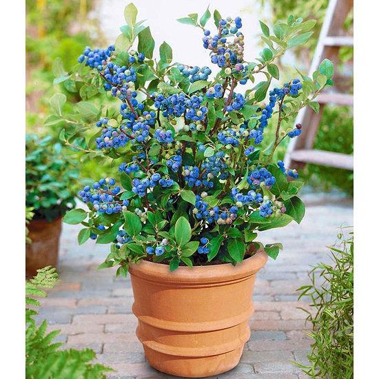"""Garten-Welt Topf-Heidelbeere """"Blue Parfait"""", 1 Pflanze blau"""