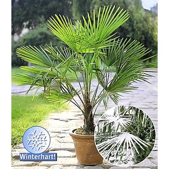 Garten-Welt Winterharte Kübel-Palme 1 Pflanze grün