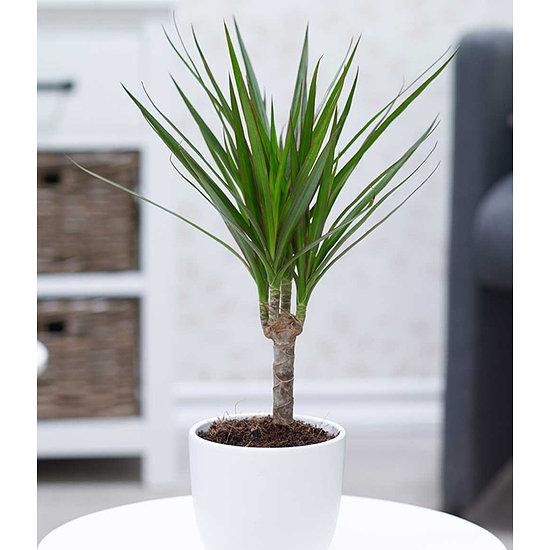 "Garten-Welt Dracena ""Marginata"" , 1 Pflanze grün"
