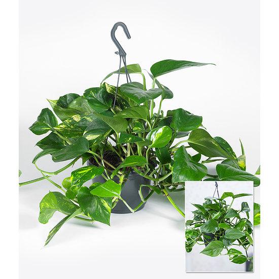 Garten-Welt Hängepflanze Efeutute 1 Pflanze mehrfarbig