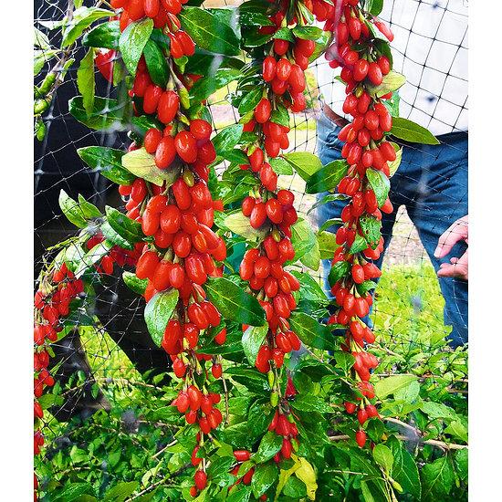 """Garten-Welt Goji """"Sweet Lifeberry®"""" , 1 Pflanze rot"""