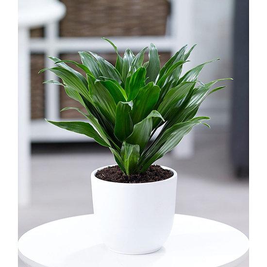 """Garten-Welt Dracena """"Compacta"""" , 1 Pflanze grün"""