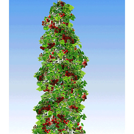 """Garten-Welt Säulen-Tayberry """"Buckingham"""",1 Pflanze rot"""