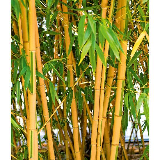 Garten-Welt Goldener Peking Bambus 1 Pflanze gelb