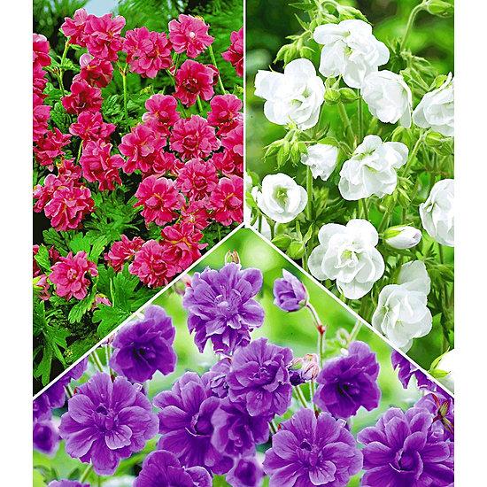 Garten-Welt Kollektion Winterharte Geranien, 6 Knollen mehrfarbig