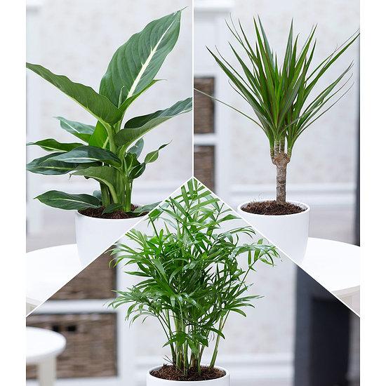 Garten-Welt Luftreinigender Zimmer pflanzen-Mix, 3 Pflanzen grün