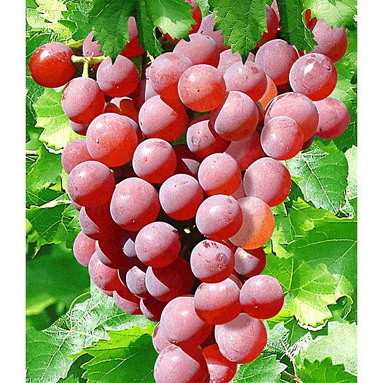 "Garten-Welt Kernlose Tafel-Traube ""Vanessa®"", 1 Pflanze rot"