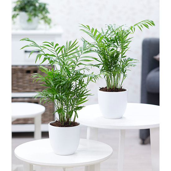 Garten-Welt Zimmerpalmen Duo 2 Pflanzen mehrfarbig