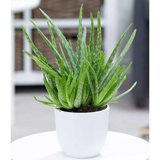 Garten-Welt Aloe Vera 1 Pflanze grün