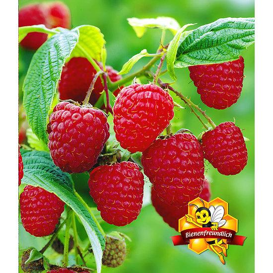 Garten-Welt Himbeere TwoTimer® Sugana® 3 Pflanzen rot