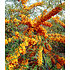 "Garten-Welt Sanddorn ""Orange Energy®"" , 1 Pflanze orange (1)"
