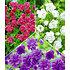 Garten-Welt Kollektion Winterharte Geranien, 6 Knollen mehrfarbig (1)
