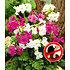 Garten-Welt Incarvillea Blüten-Mix 3 Stück mehrfarbig (1)
