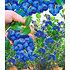 Garten-Welt Heidelbeer-Sortiment zum Vorteilspreis, 2 Pflanzen blau (2)