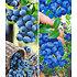Garten-Welt Heidelbeer-Sortiment zum Vorteilspreis, 2 Pflanzen blau (3)