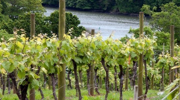 Sharpham Vineyard
