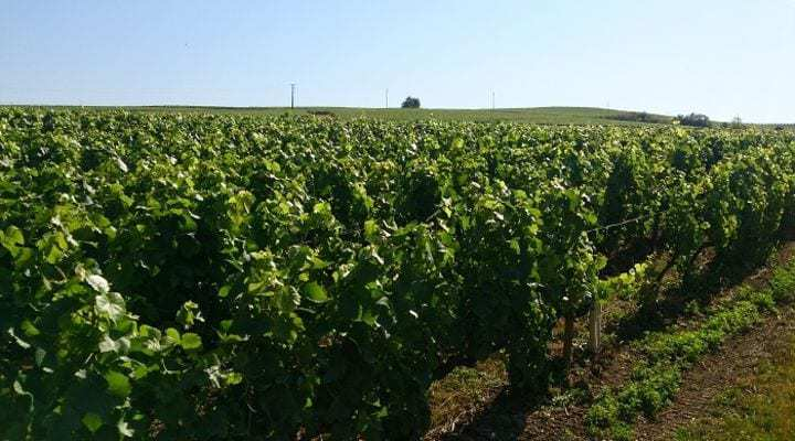New Grape Varieties for Champagne
