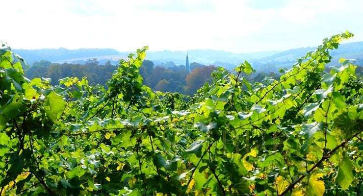 English_vineyard_view