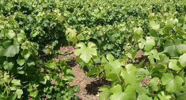 Champagne_vineyards