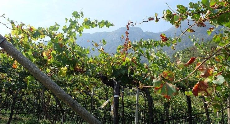 Vineyard Italy