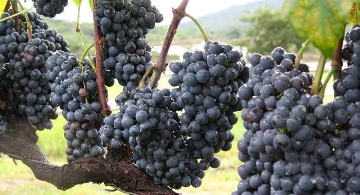 Zimbabwe_grapes