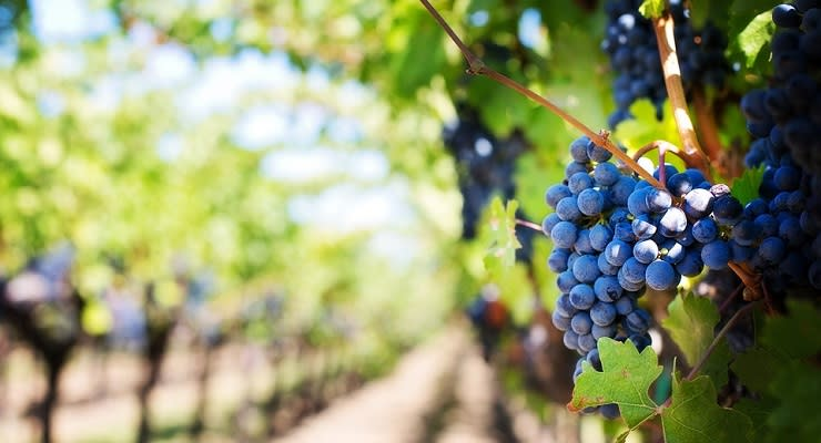 napa_valley_grapes