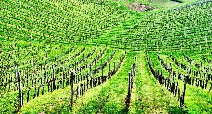 Slovenian_vineyard