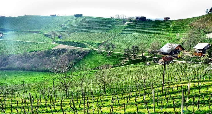 vineyard_in_Slovenia_2