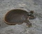 Smooth Softshell Turtle Jigsaw
