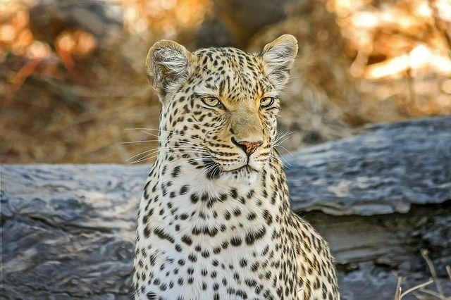 leopard-2923957_640