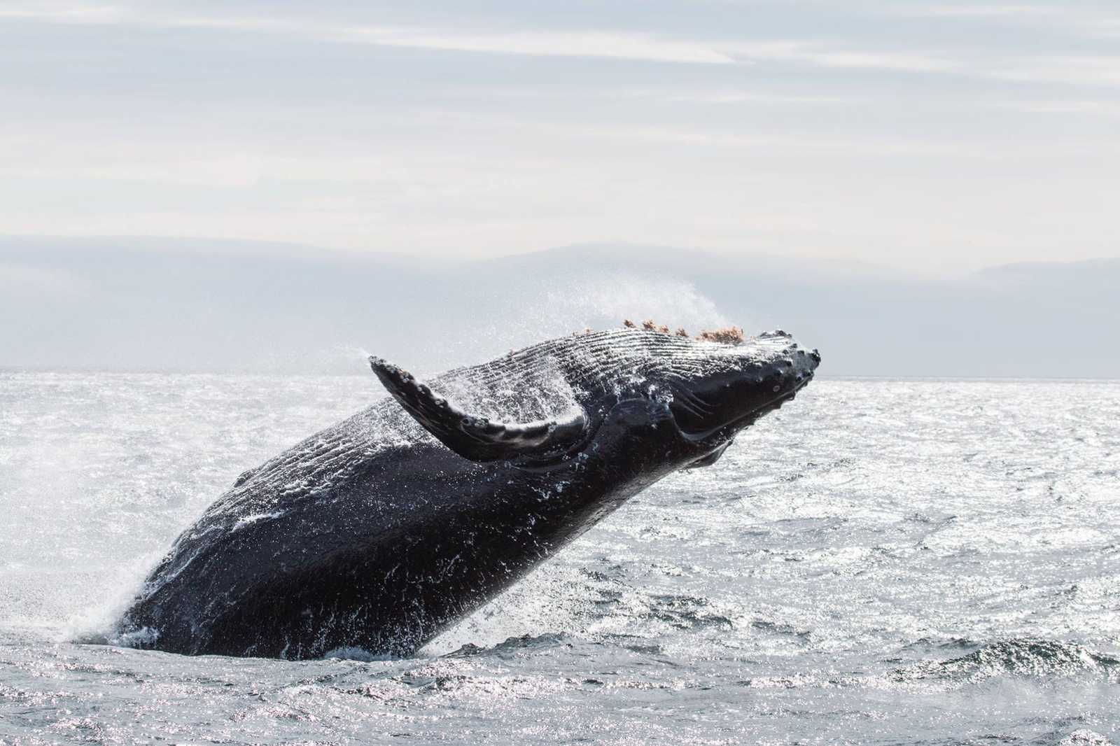 Best Whale Watching in BC, Vancouver Island - Humpback Whale Breaching - Eagle Wings Tour