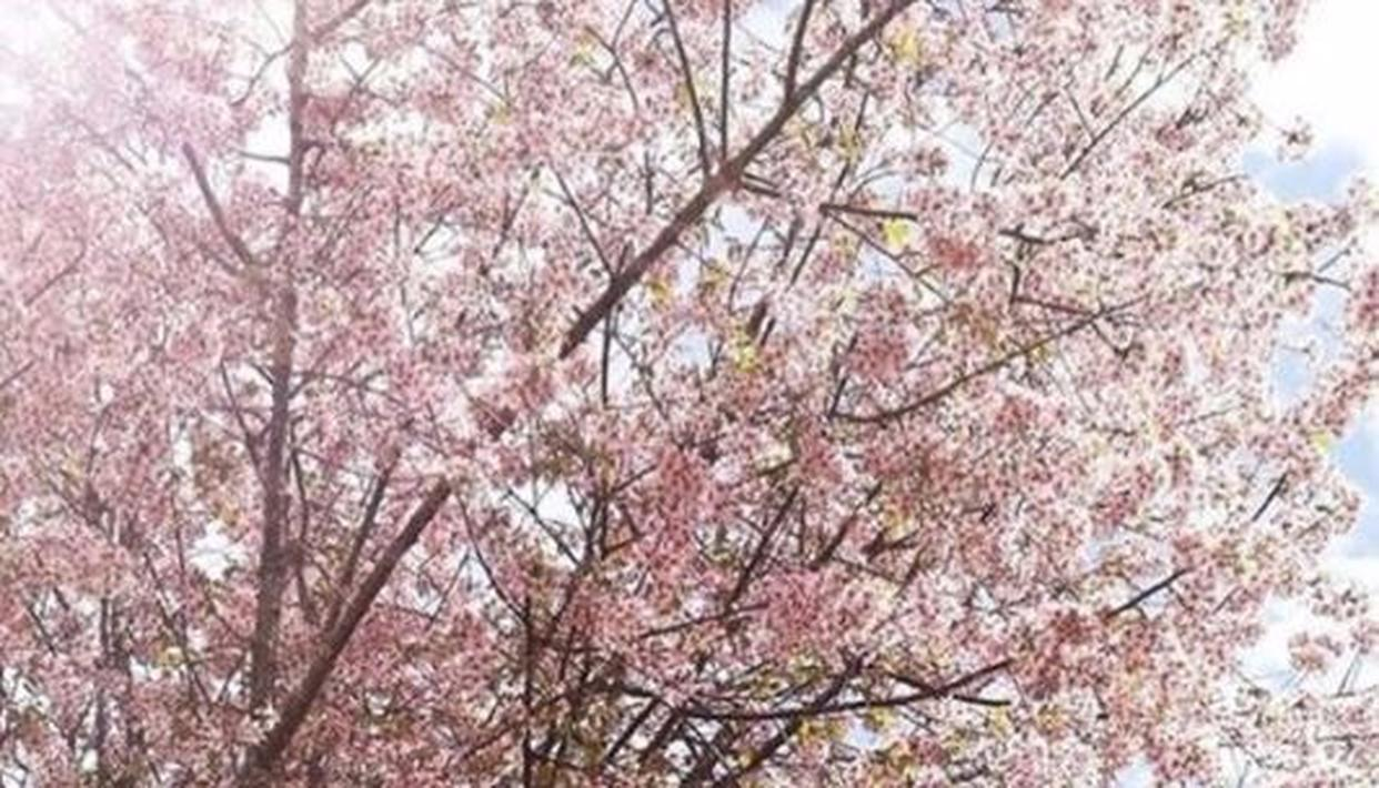 Source: cherryblossomshillong Instagram page
