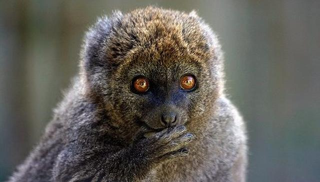 Climate change may slowly starve bamboo lemurs, says study