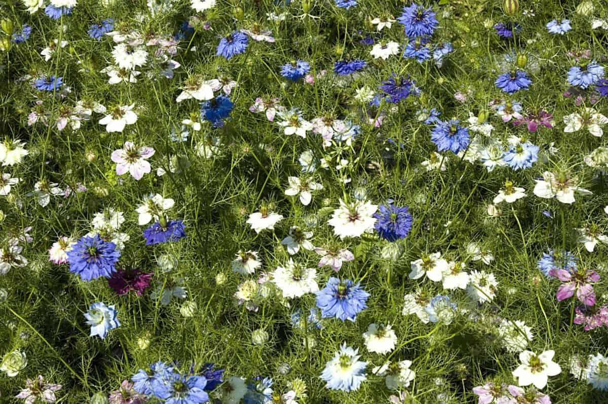 Tisoči cvetov črne kumine nekje v naravi