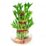 three layer lucky bamboo plant gift