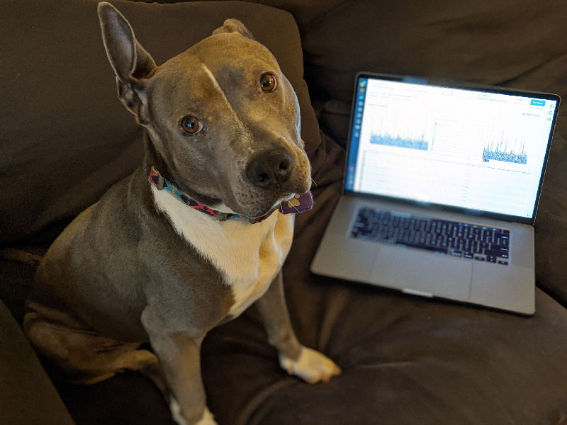 Nova the pitbull sitting in front of a laptop computer, looking at the camera with one ear pointing up.