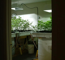This is a picture of what an indoor marijuana grow looks like