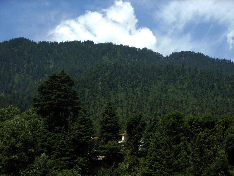 Pinus wallichiana Manali