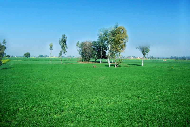 Indian Green Field