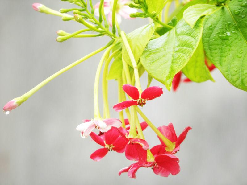 Quisqualis indica (Madhumalati Flower)