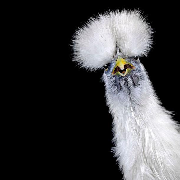 Cocks Headshots #8 by Ernest Goh