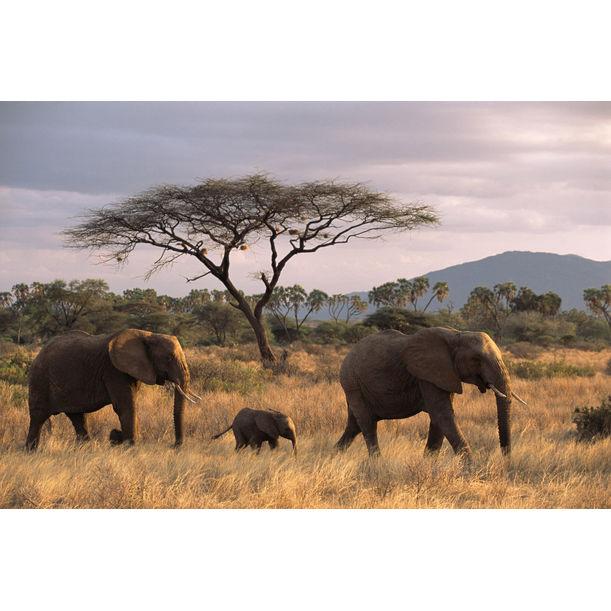 African elephant family on the move at dusk and acacia tree, Samburu National Reserve, Kenya by James Warwick