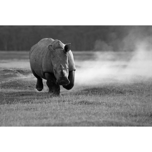 White rhinoceros charging, Lake Nakuru National Park, Kenya by James Warwick