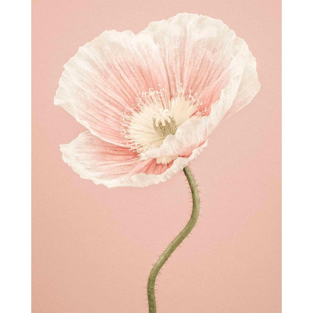 Icelandic Poppy II by Paul Coghlin