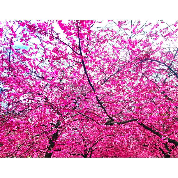 Sakura II by Viet Ha Tran