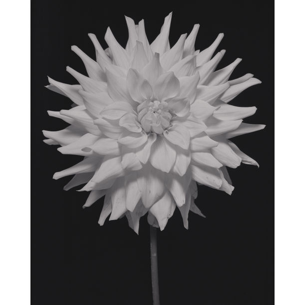 Kenora Challenger Dahlia by Casey Moore